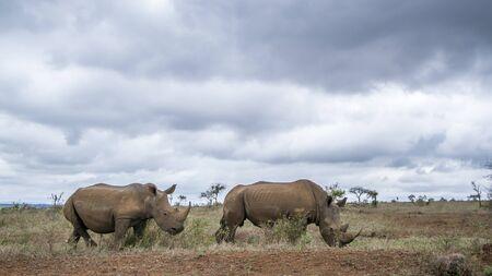 specie: Specie Ceratotherium simum simum family of Rhinocerotidae, african white rhinoceros in savannah
