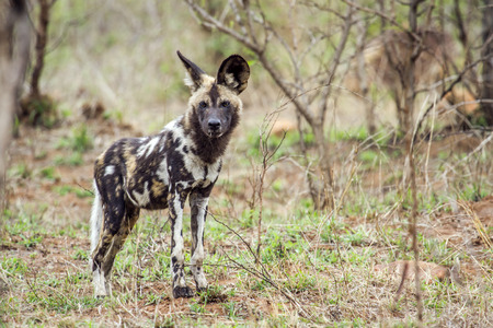 specie: Specie Lycaon pictus family of Canidae, african wild dog in Kruger park Stock Photo