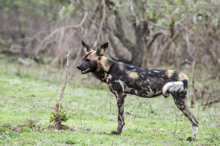 kruger park: Specie Lycaon pictus family of Canidae, african wild dog in Kruger park Stock Photo
