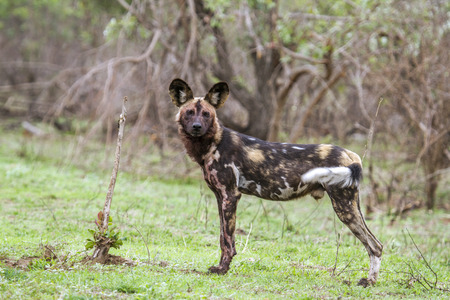 lycaon pictus: Specie Lycaon pictus family of Canidae, african wild dog in Kruger park Stock Photo