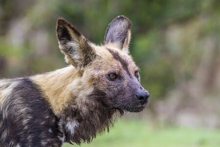 wild dog: Specie Lycaon pictus family of Canidae, african wild dog in Kruger park Stock Photo