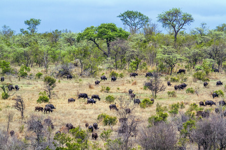 bovidae: Specie Syncerus caffer family of bovidae,  herd of african buffalos in savannah