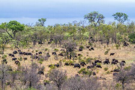 bovidae: Specie Syncerus caffer family of bovidae, herd of african buffalos in savannah Stock Photo