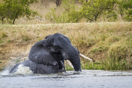 loxodonta africana: Specie Loxodonta africana family of Elephantidae, african bush elephant in the riverbank playing in the water