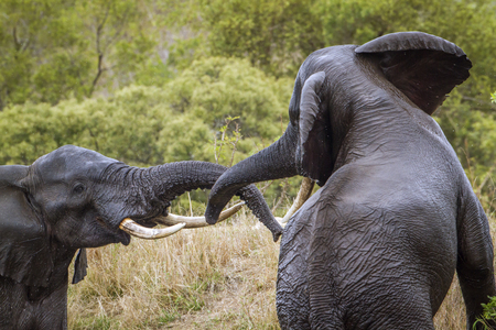 loxodonta africana: Specie Loxodonta africana family of Elephantidae, two african bush elephants fighting
