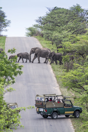 specie: Specie Loxodonta africana family of Elephantidae, group of african bush elephants crossing the road