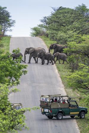 specie: Specie Loxodonta africana family of Elephantidae, african bush elephant crossing the road