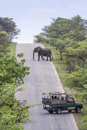 animales safari: Loxodonta africana especie de la familia de Elephantidae, Loxodonta africana que cruza el camino