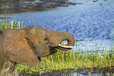 africana: Specie Loxodonta africana family of Elephantidae, african bush elephant drinking in the riverbank Stock Photo