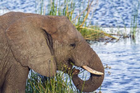 loxodonta africana: Specie Loxodonta africana family of Elephantidae, african bush elephant in the riverbank