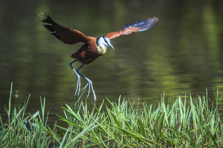 freshwater bird: Specie Actophilornis africanus family of  Jacanidae,  african jacana flying in the riverbank