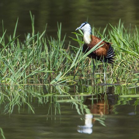 jacana: Specie Actophilornis africanus family of  Jacanidae,  african jacana in the riverbank Stock Photo