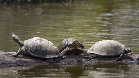 tortuga: Especie Chersina familia de Testudinidae angulata, tortuga dispuesto en �ngulo de la familia