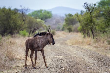 taurinus: Specie Connochaetes taurinus family of bovidae, wild wildebeest on a trail in savannah