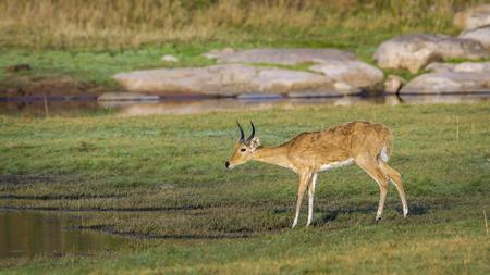 bovidae: Specie Redunca redunca family of bovidae, bohor reedbuck in the riverbank