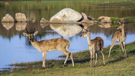 bovidae: Specie Redunca redunca family of bovidae, family of bohor reedbuck in the riverbank