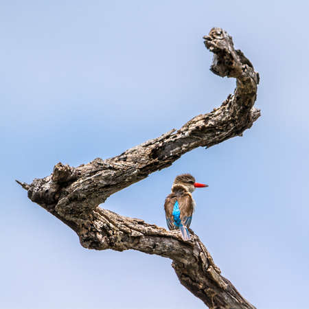 alcedinidae: Specie Halcyon albiventris family of Alcedinidae,  brown hooded kingfisher