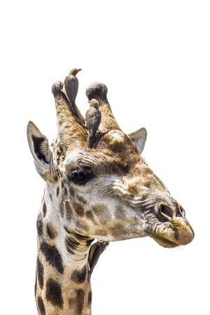 giraffa camelopardalis: Specie  Giraffa camelopardalis family of Giraffidae, portrait of a funny giraffe