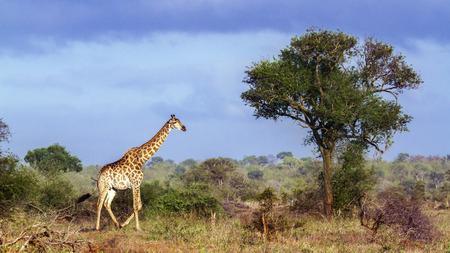 giraffa camelopardalis: Specie Giraffa camelopardalis family of Giraffidae, wild giraffe in Kruger Park Stock Photo