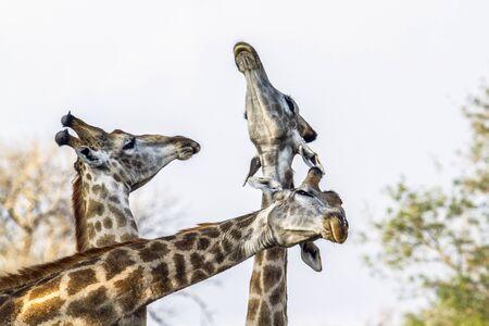 giraffa camelopardalis: Specie Giraffa camelopardalis family of Giraffidae, lovely scene of wild giraffes in savannah in Kruger Park Stock Photo
