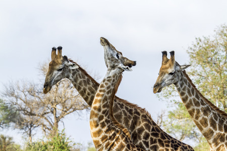 kruger park: Specie Giraffa camelopardalis family of Giraffidae, lovely scene of wild giraffes in savannah in Kruger Park Stock Photo