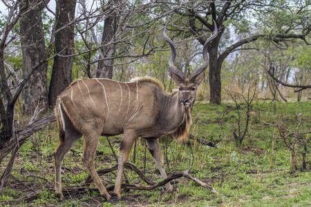 bovidae: Specie Tragelaphus strepsiceros family of bovidae, greater kudu in savannah Stock Photo