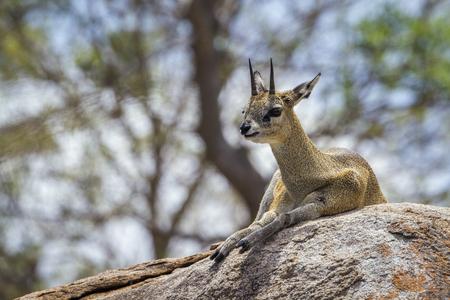 bovidae: Specie Oreotragus oreotragus family of Bovidae, klipspringer on a rock