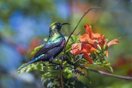 sunbird: Specie Cinnyris mariquensis family of Nectariniidae, mariqua sunbird in Kruger park