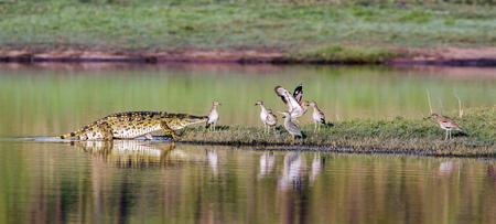 crocodylus: Specie Crocodylus niloticus family of Crocodylidae,  Nile crocodile in the riverbank