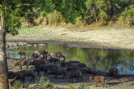 bovidae: Specie Syncerus caffer family of bovidae, africa herd of buffalo in the riverbank, on sunset