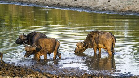 bovidae: Specie Syncerus caffer family of bovidae, african buffalo in the river, on sunset Stock Photo
