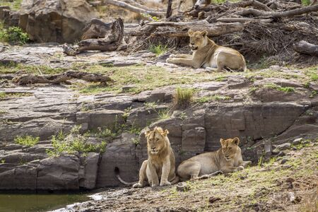 felidae: Specie Panthera leo family of felidae, Stock Photo