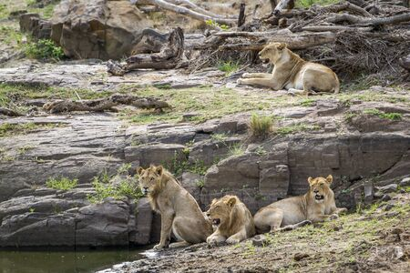 felidae: Specie Panthera leo family of felidae
