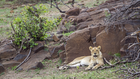 specie: Specie Panthera leo felidae family of african lions in Kruger Park
