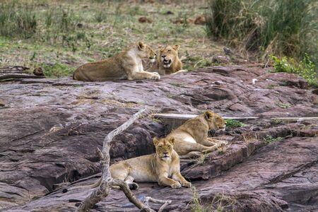 felidae: Specie Panthera leo felidae family of african lions in Kruger Park