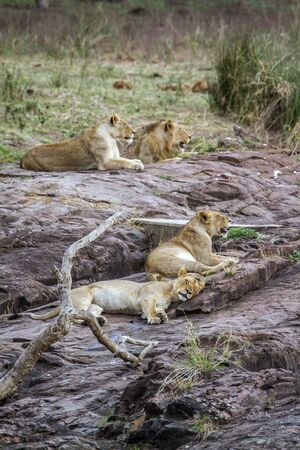 small group of animals: Specie Panthera leo felidae family of african lions in Kruger Park
