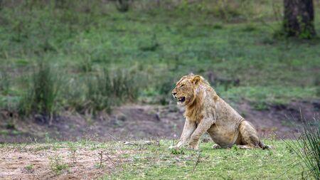 felidae: Specie Panthera leo felidae family of african lion in Kruger Park