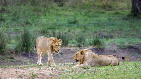 felidae: Panthera leo specie of felidae family, two wild lions in Kruger park Stock Photo