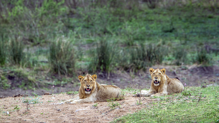 felidae: Panthera leo Specie family of felidae, lions Having a nap in Kruger Park