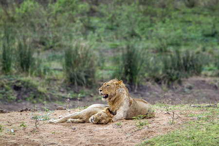panthera leo: Panthera leo Specie family of felidae, lions Having a nap in Kruger Park