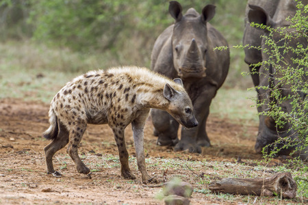kruger park: Specie Crocuta crocuta family of Hyaenidae, mother and baby white rhinoceros in Kruger Park and hyaena