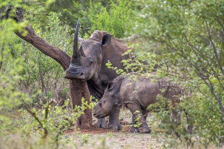 specie: Specie Ceratotherium simum simum of Rhinocerotidae family, mother and baby white rhinoceros in Kruger Park Stock Photo