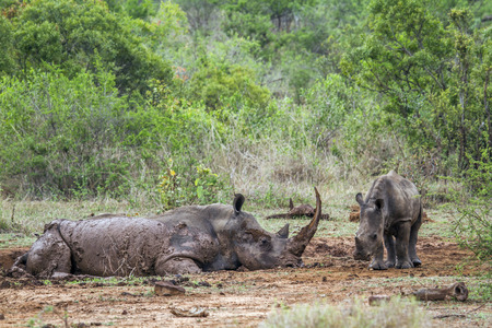 kruger park: Specie Ceratotherium simum simum family of Rhinocerotidae, white rhinoceros having a rest in Kruger park Stock Photo
