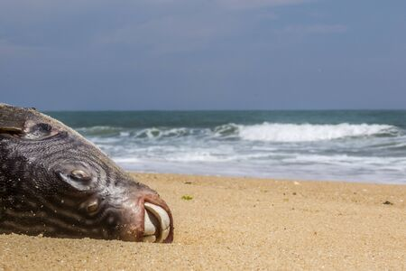 blue spotted: dead blue spotted puffer fish on the beach in Sri lanka Stock Photo