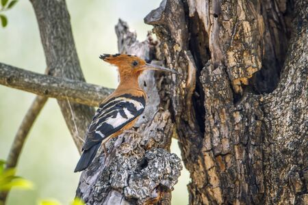insectivorous: Specie Upupa africana family of Upupidae, african hoopoe in a tree