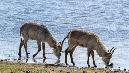 bovidae: Specie Kobus ellipsiprymnus family of bovidae, group of waterbucks in the riverbank Stock Photo