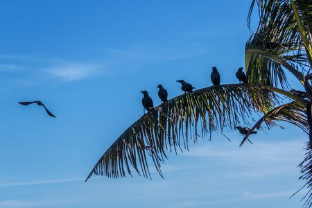 aligned: black crows aligned on a coconut tree leaf in Sri Lanka