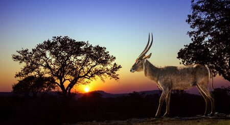 africa sunset: waterbuck on sunset in savannah, Kruger, South Africa