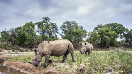 specie: Specie Ceratotherium simum simum family of Rhinocerotidae, two white rhino in the bush Stock Photo