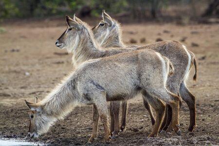 Specie Kobus ellipsiprymnus family of bovidae, three waterbuck drinking in Kruger park